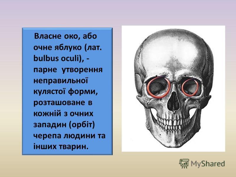 Власне око, або очне яблуко (лат. bulbus oculi), - парне утворення неправильної кулястої форми, розташоване в кожній з очних западин (орбіт) черепа людини та інших тварин.