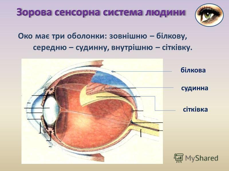 Око має три оболонки: зовнішню – білкову, середню – судинну, внутрішню – сітківку. білкова судинна сітківка