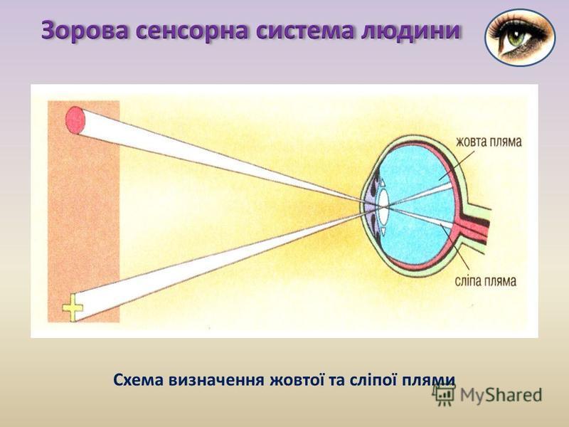 Схема визначення жовтої та сліпої плями