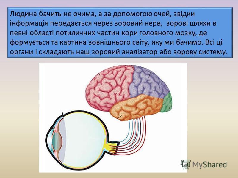 Людина бачить не очима, а за допомогою очей, звідки інформація передається через зоровий нерв, зорові шляхи в певні області потиличних частин кори головного мозку, де формується та картина зовнішнього світу, яку ми бачимо. Всі ці органи і складають н