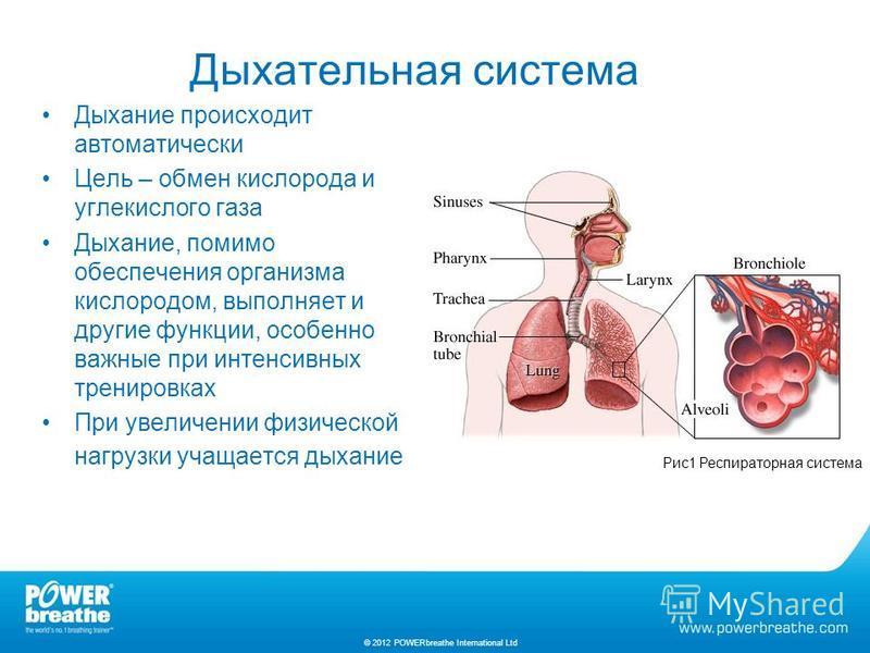 Дыхательная система Дыхание происходит автоматически Цель – обмен кислорода и углекислого газа Дыхание, помимо обеспечения организма кислородом, выполняет и другие функции, особенно важные при интенсивных тренировках При увеличении физической нагрузк