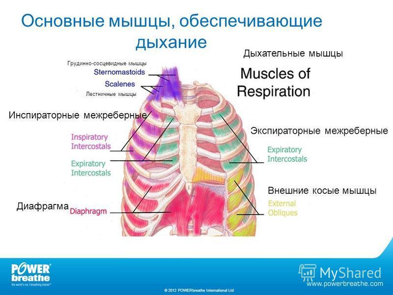 Основные мышцы, обеспечивающие дыхание © 2012 POWERbreathe International Ltd Дыхательные мышцы Экспираторные межреберные Инспираторные межреберные Диафрагма Внешние косые мышцы Грудинно-сосцевидные мышцы Лестничные мышцы