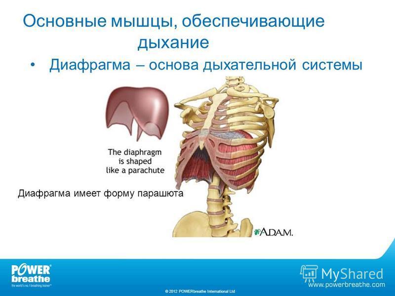 Диафрагма – основа дыхательной системы Основные мышцы, обеспечивающие дыхание © 2012 POWERbreathe International Ltd Диафрагма имеет форму парашюта
