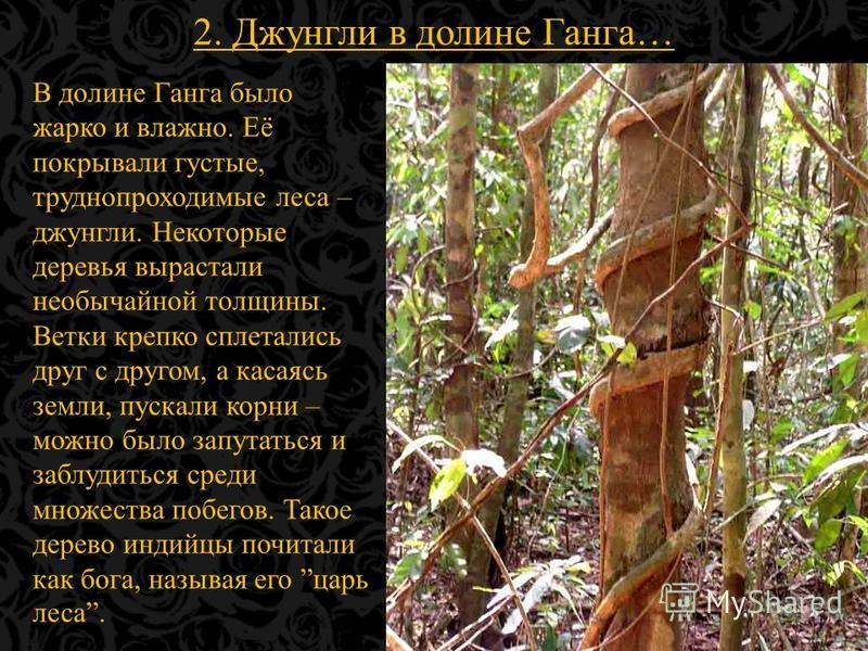 2. Джунгли в долине Ганга… В долине Ганга было жарко и влажно. Её покрывали густые, труднопроходимые леса – джунгли. Некоторые деревья вырастали необычайной толщины. Ветки крепко сплетались друг с другом, а касаясь земли, пускали корни – можно было з