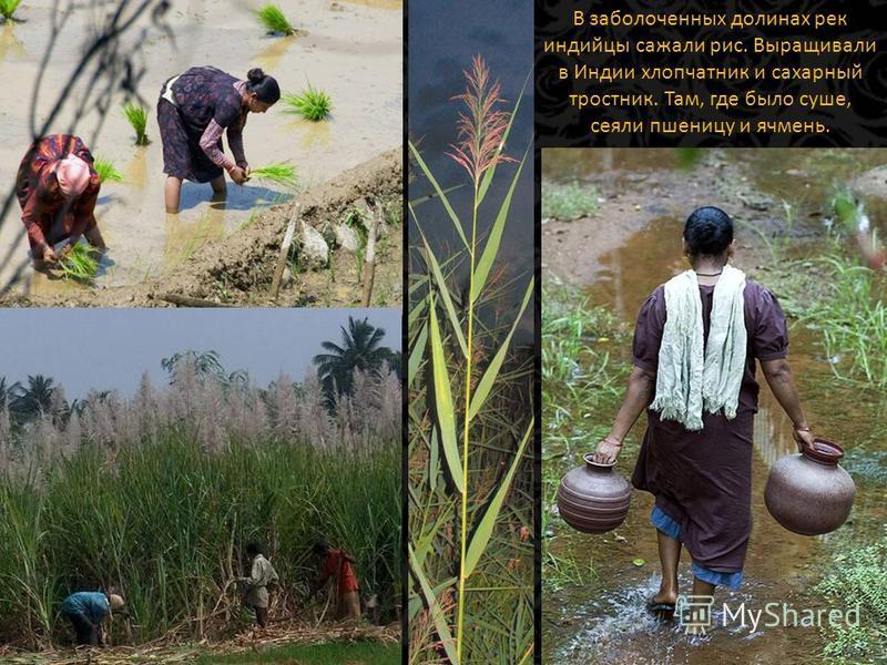 В заболоченных долинах рек индийцы сажали рис. Выращивали в Индии хлопчатник и сахарный тростник. Там, где было суше, сеяли пшеницу и ячмень.