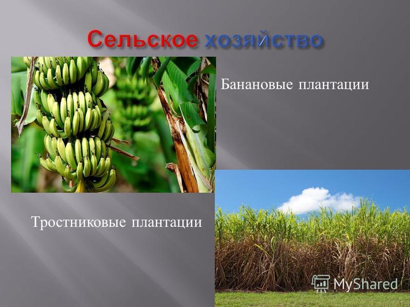 Банановые плантации Тростниковые плантации