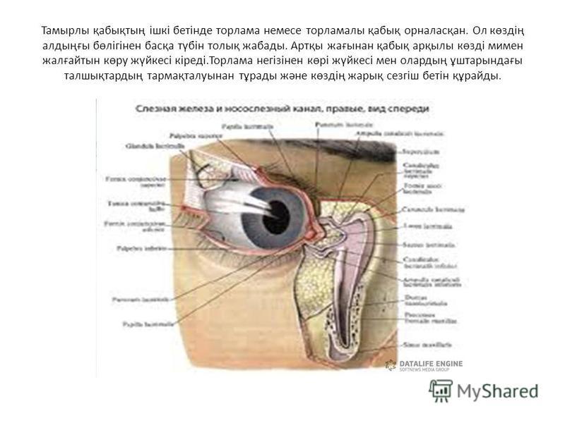 Тамырлы қабықтың ішкі бетінде торлама немесе торламалы қабық орналасқан. Ол көздің алдыңғы бөлігінен басқа түбін толық жабады. Артқы жағынан қабық арқылы көзді мимен жалғайтын көру жүйкесі кіреді.Торлама негізінен көрі жүйкесі мен олардың ұштарындағы