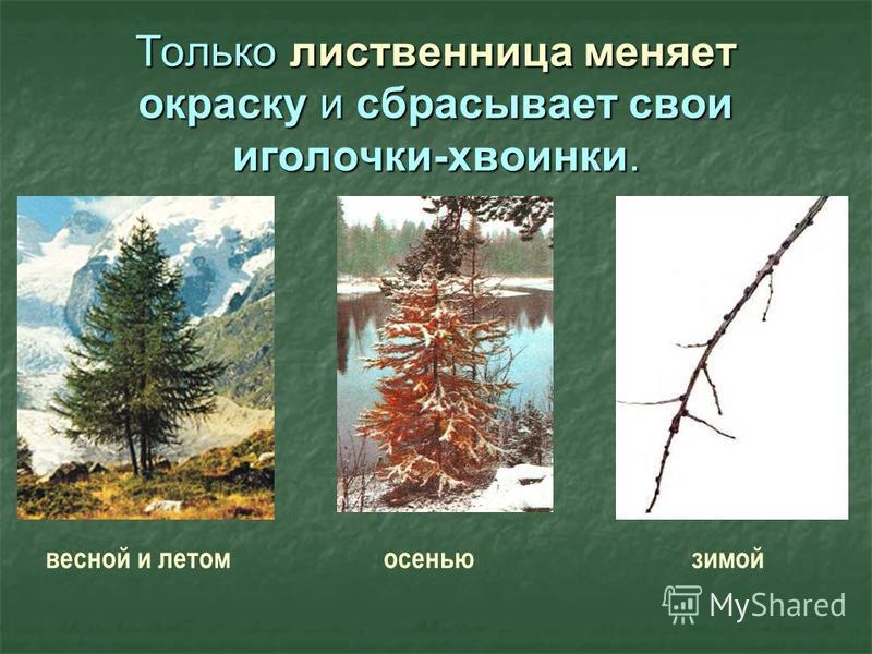 Только лиственница меняет окраску и сбрасывает свои иголочки-хвоинки. осенью зимой весной и летом