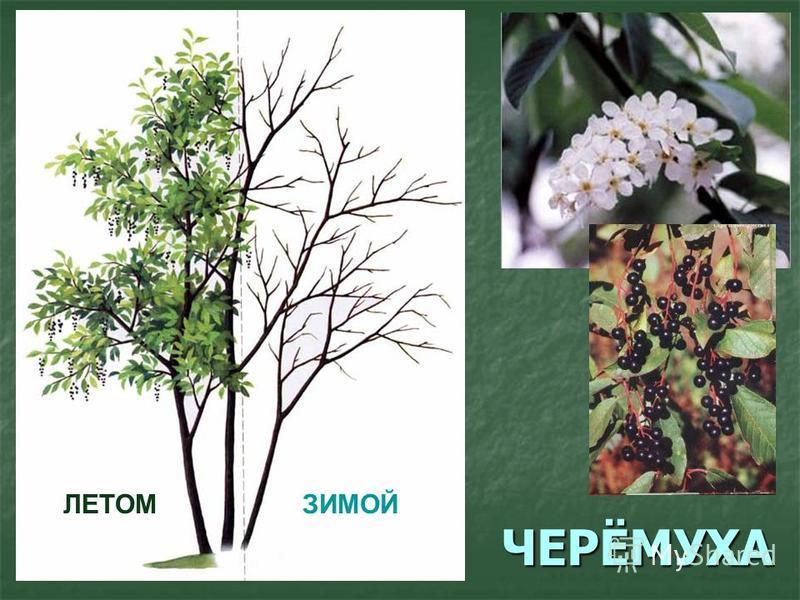 ЧЕРЁМУХА ЛЕТОМЗИМОЙ