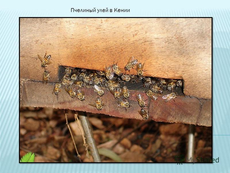 Пчелиный улей в Кении