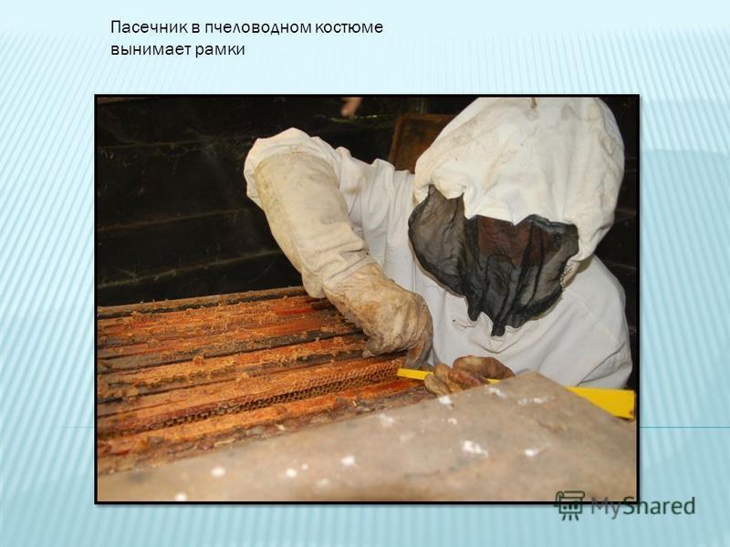 Пасечник в пчеловодном костюме вынимает рамки