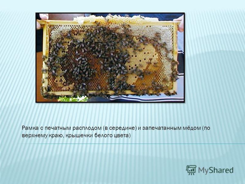 Рамка с печатным расплодом (в середине) и запечатанным мёдом (по верхнему краю, крышечки белого цвета)