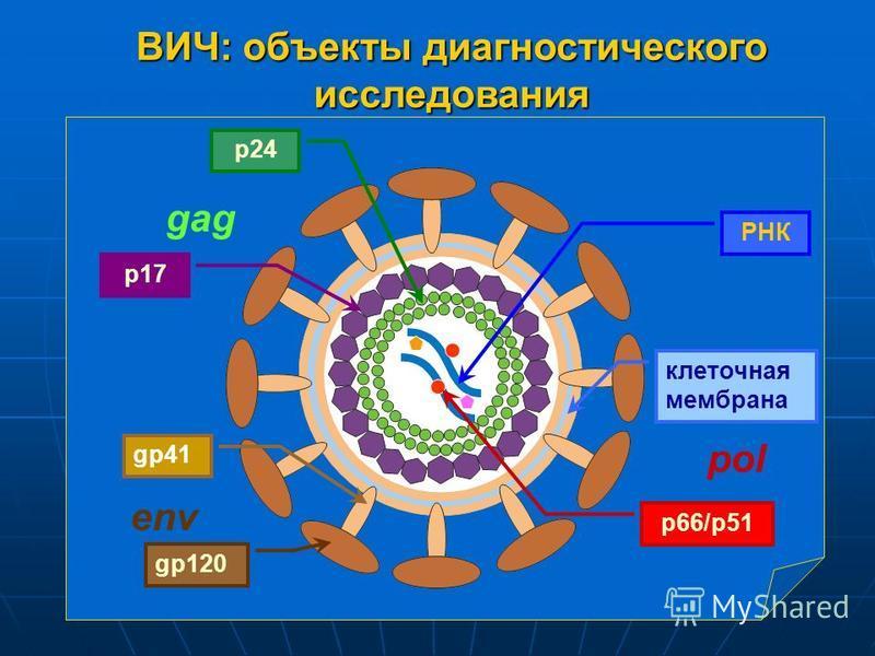 ВИЧ: объекты диагностического исследования РНК p66/p51 gp41 gp120 p24 p17 клеточная мембрана env gag pol