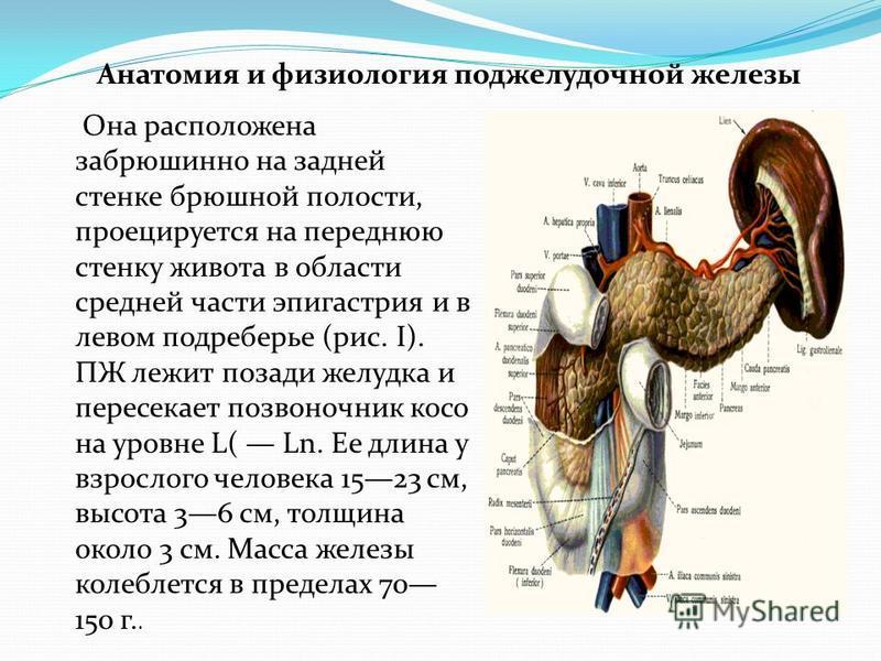 Анатомия и физиология поджелудочной железы Она расположена забрюшинной на задней стенке брюшной полости, проецируется на переднюю стенку живота в области средней части эпигастрия и в левом подреберье (рис. I). ПЖ лежит позади желудка и пересекает поз