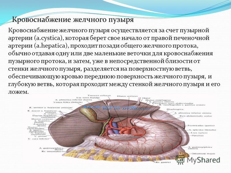 Кровоснабжение желчного пузыря Кровоснабжение желчного пузыря осуществляется за счет пузырной артерии (a.cystica), которая берет свое начало от правой печеночной артерии (a.hepatica), проходит позади общего желчного протока, обычно отдавая одну или д
