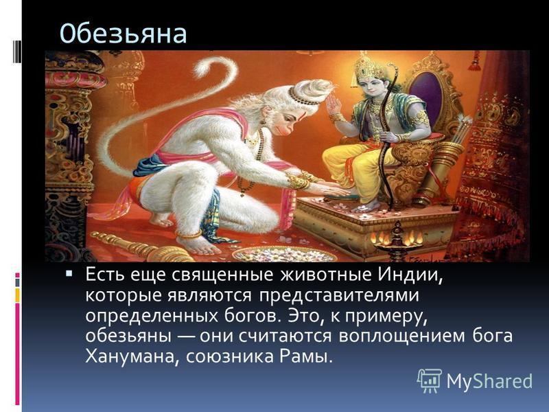 Обезьяна Есть еще священные животные Индии, которые являются представителями определенных богов. Это, к примеру, обезьяны они считаются воплощением бога Ханумана, союзника Рамы.