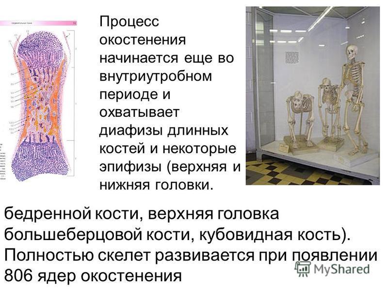 Процесс окостенения начинается еще во внутриутробном периоде и охватывает диафизы длинных костей и некоторые эпифизы (верхняя и нижняя головки. бедренной кости, верхняя головка большеберцовой кости, кубовидная кость). Полностью скелет развивается при