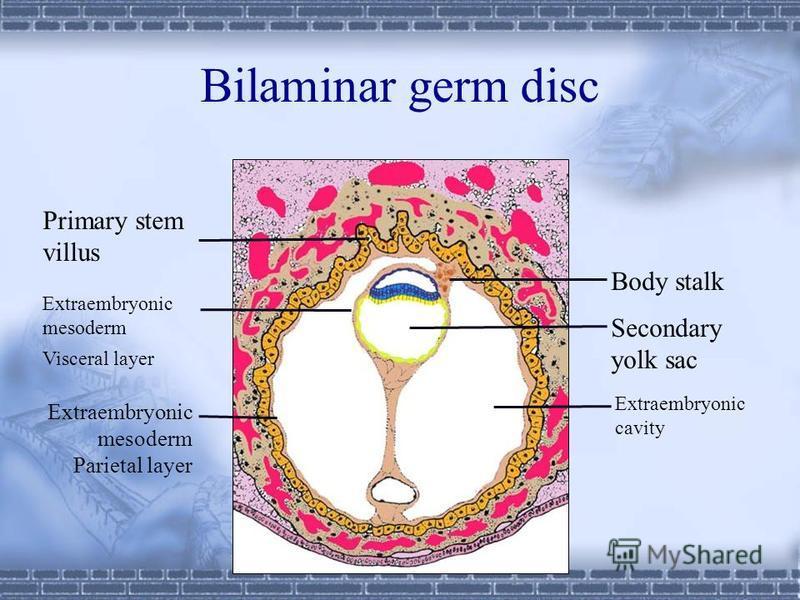 Embryo at 13th day Extraembryonic cavity Primary yolk sac Secondary yolk sac Body stalk