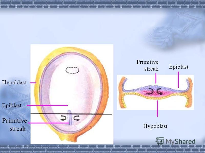 Trilaminar germ disc primitive streak, primitive groove 3rd week primitive node, primitive pit 3rd week 1. Endoderm: primitive groove hypoblast endoderm 2. Mesoderm primitive groove between epiblast and hypoblat mesoderm 3. Ectoderm epiblast ectoderm