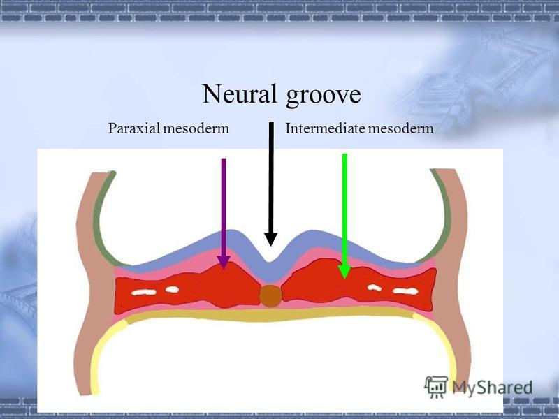 Differentiation of trilaminar germ and formation of embryo Differentiation of trilaminar germ 1.Differentiation of ectoderm Neural tube blastema of CNS neural plate (18th-19th day) Neuro-epithelium (neural ectoderm): pseudostratified columnar neural