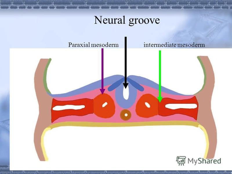Neural groove Paraxial mesoderm Intermediate mesoderm