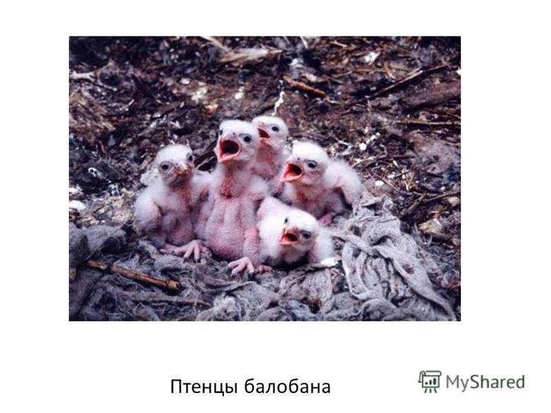 Птенцы балабана