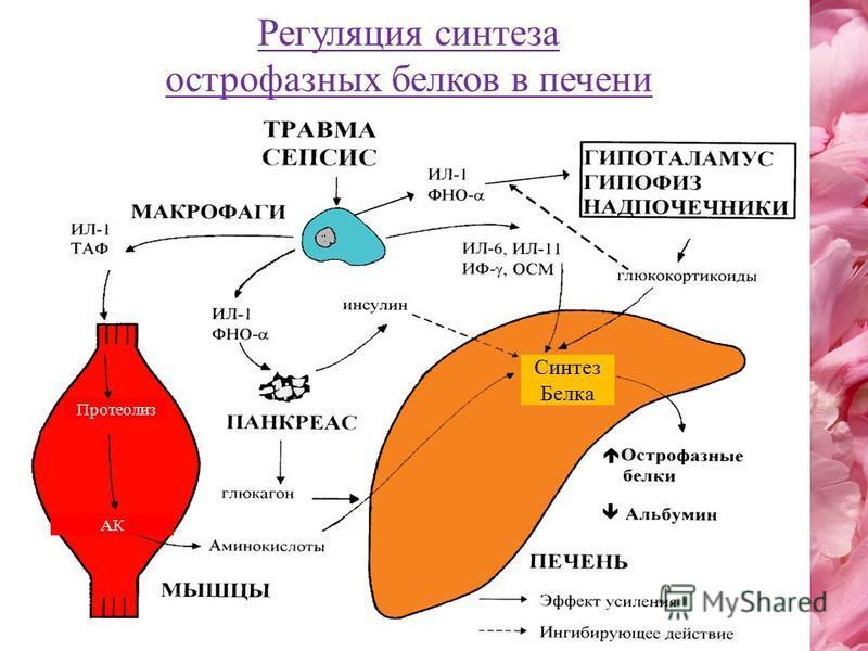 Протеолиз Синтез Белка АК Регуляция синтеза острофазных белков в печени