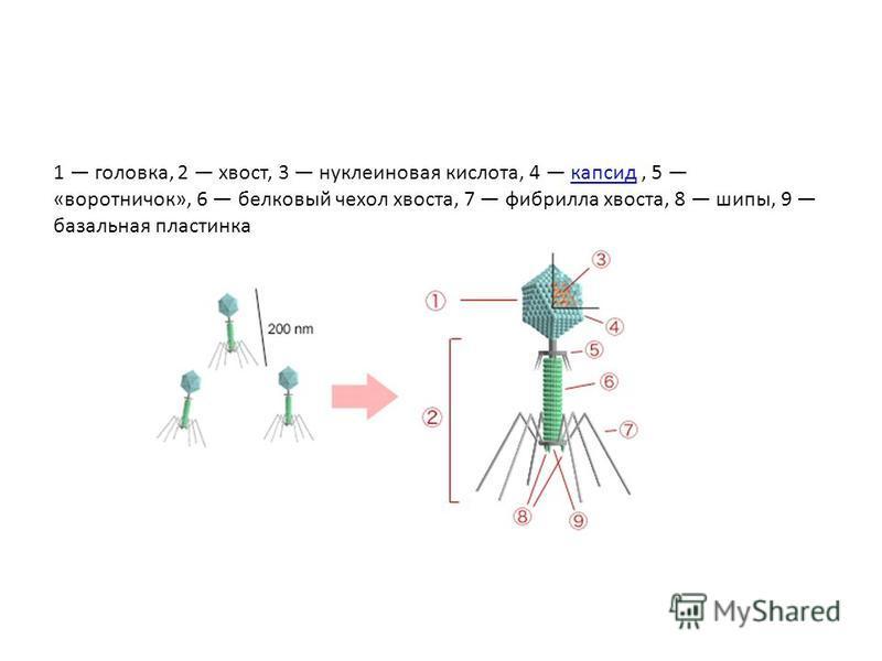 1 головка, 2 хвост, 3 нуклеиновая кислота, 4 капсид, 5 «воротничок», 6 белковый чехол хвоста, 7 фибрилла хвоста, 8 шипы, 9 базальная пластинка капсид