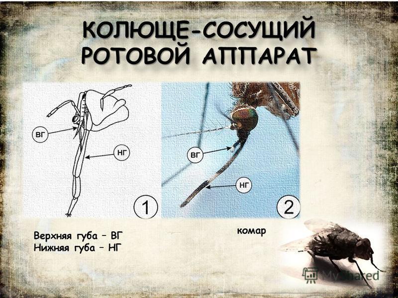 КОЛЮЩЕ-СОСУЩИЙ РОТОВОЙ АППАРАТ Верхняя губа – ВГ Нижняя губа – НГ комар