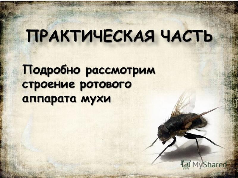 ПРАКТИЧЕСКАЯ ЧАСТЬ Подробно рассмотрим строение ротового аппарата мухи