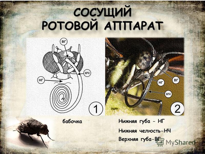 СОСУЩИЙ РОТОВОЙ АППАРАТ Нижняя губа - НГ Нижняя челюсть-НЧ Верхняя губа-ВГ бабочка