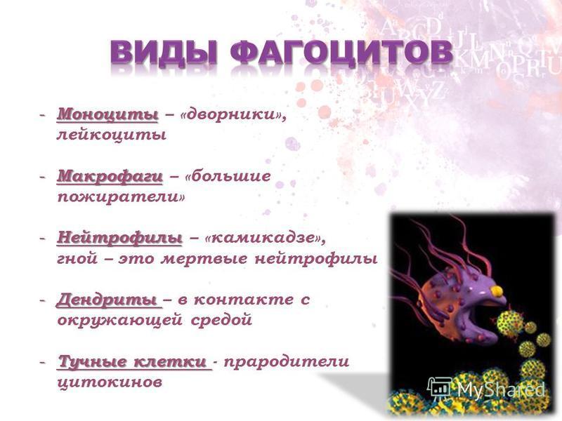 - Моноциты - Моноциты – «дворники», лейкоциты - Макрофаги - Макрофаги – «большие пожиратели» - Нейтрофилы - Нейтрофилы – «камикадзе», гной – это мертвые нейтрофилы - Дендриты - Дендриты – в контакте с окружающей средой - Тучные клетки - Тучные клетки