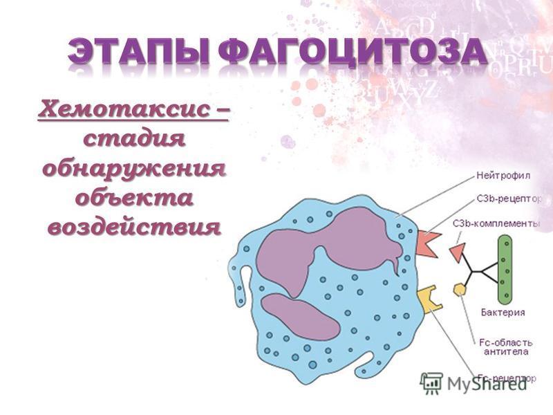 Хемотаксис – стадия обнаружения объекта воздействия