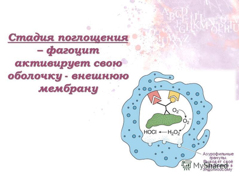 Стадия поглощения – фагоцит активирует свою оболочку - внешнюю мембрану
