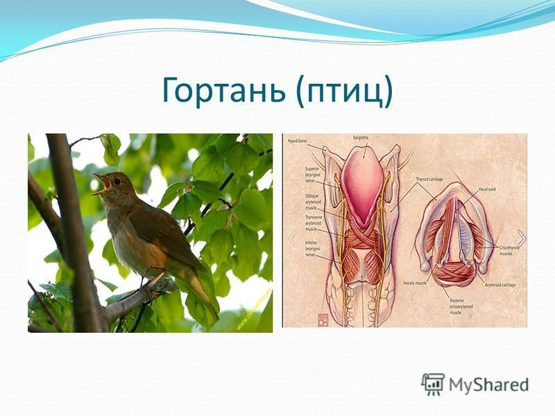 Гортань (птиц)