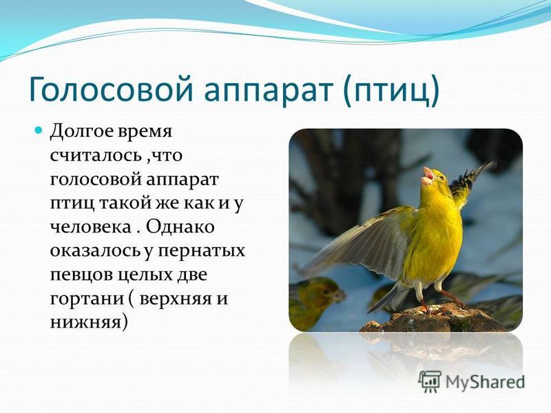 Голосовой аппарат (птиц) Долгое время считалось,что голосовой аппарат птиц такой же как и у человека. Однако оказалось у пернатых певцов целых две гортани ( верхняя и нижняя)