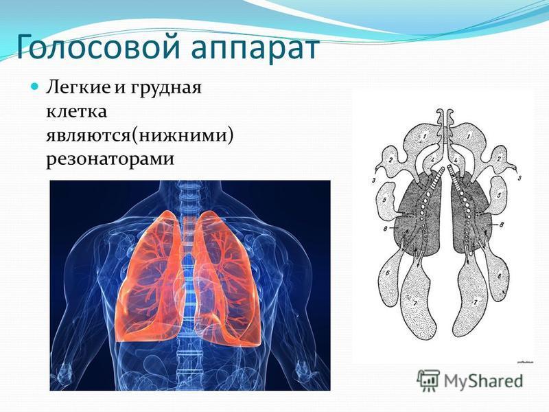 Голосовой аппарат Легкие и грудная клетка являются(нижними) резонаторами