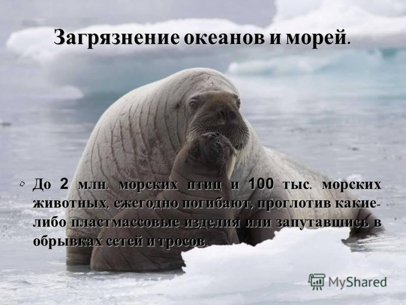 Загрязнение океанов и морей. До 2 млн. морских птиц и 100 тыс. морских животных, ежегодно погибают, проглотив какие - либо пластмассовые изделия или запутавшись в обрывках сетей и тросов. До 2 млн. морских птиц и 100 тыс. морских животных, ежегодно п