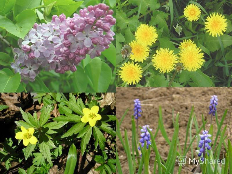 Разнообразие растений Малютка ряска, менее 2 мм Гигант эвкалипт, до 150 м