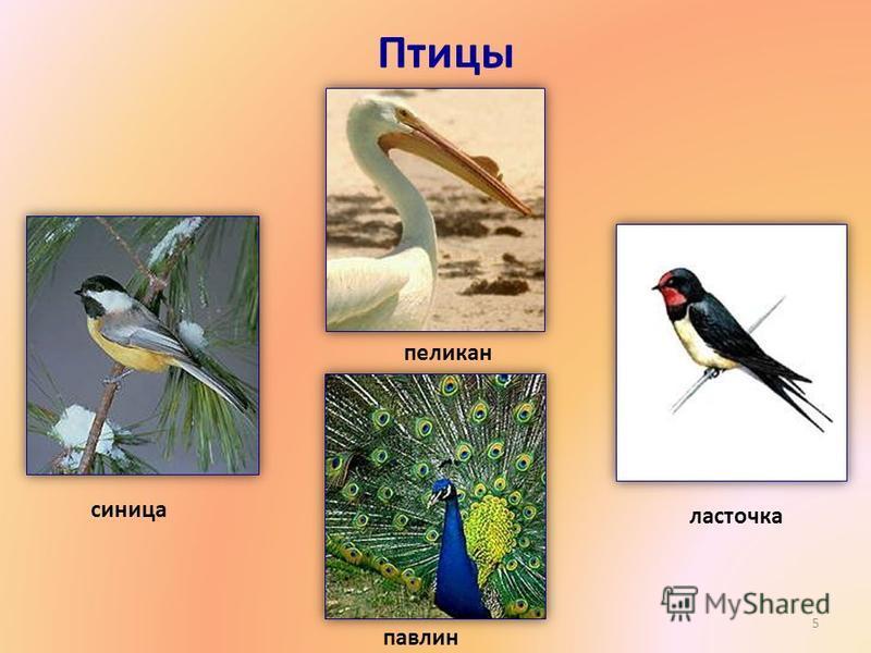 Птицы 5 пеликан синица павлин ласточка
