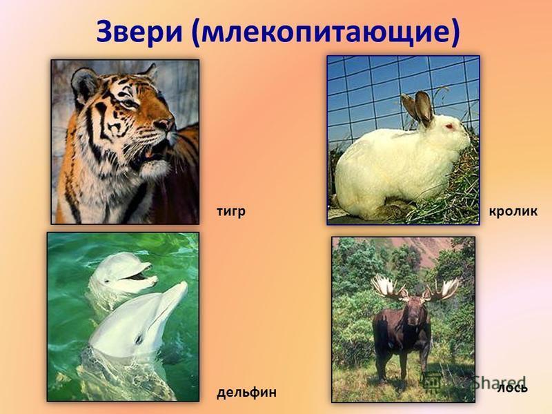 Звери (млекопитающие) тигр кролик дельфин лось 6