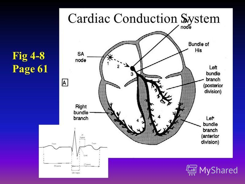 Fig 4-8 Page 61 Cardiac Conduction System