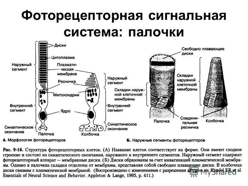 Фоторецепторная сигнальная система: палочки