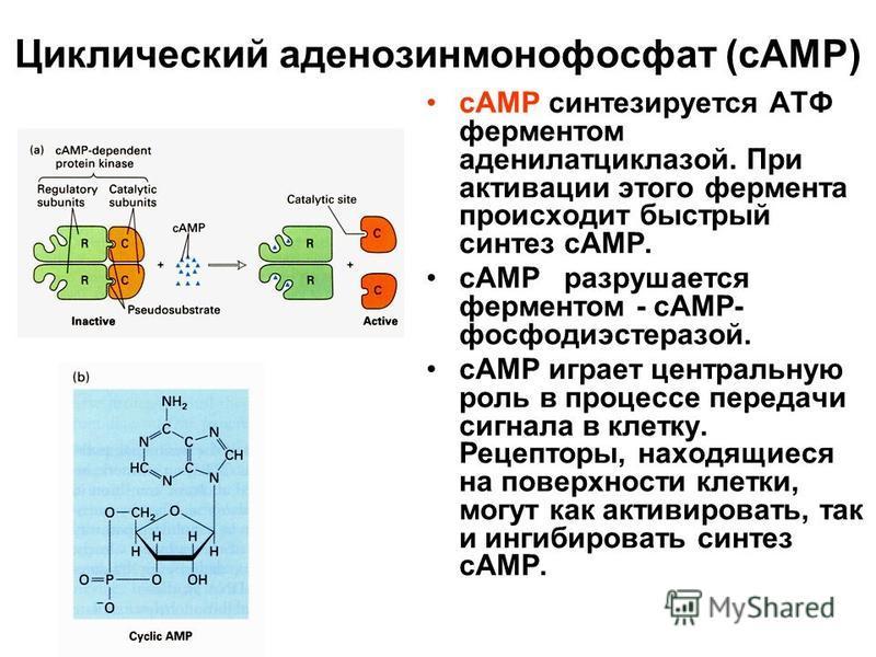 Циклический аденозинмонофосфат (cAMP) сАМР синтезируется АТФ ферментом аденилатциклазой. При активации этого фермента происходит быстрый синтез сАМР. сАМР разрушается ферментом - сАМР- фосфодиэстеразой. сАМР играет центральную роль в процессе передач