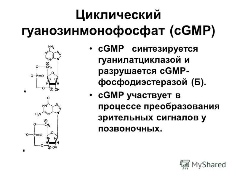 Циклический гуанозинмонофосфат (cGMP) cGMP синтезируется гуанилатциклазной и разрушается cGMP- фосфодиэстеразой (Б). cGMP участвует в процессе преобразования зрительных сигналов у позвоночных.