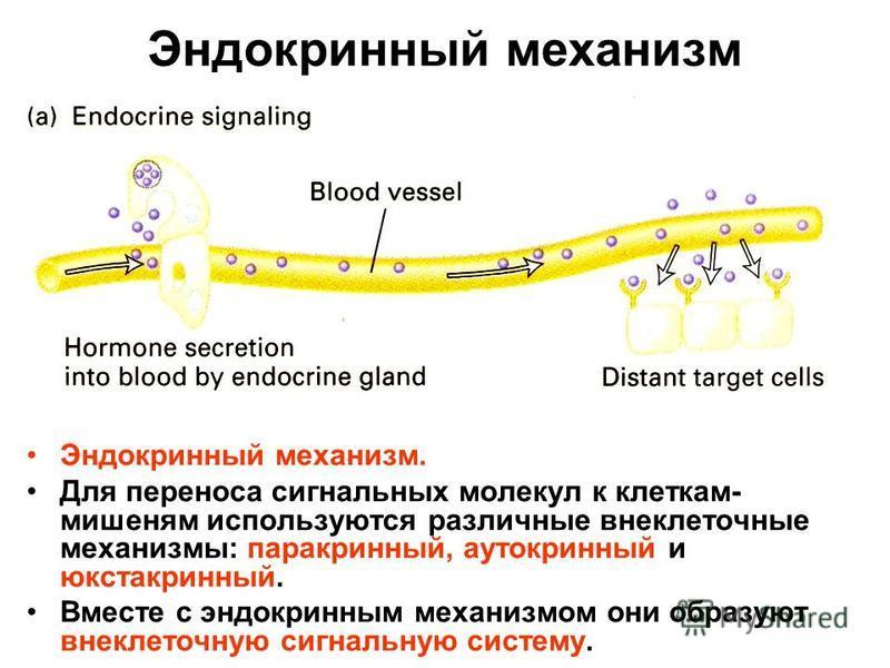 Эндокринный механизм Эндокринный механизм. Для переноса сигнальных молекул к клеткам- мишеням используются различные внеклеточные механизмы: паракринный, аутокринный и юкстакринный. Вместе с эндокринным механизмом они образуют внеклеточную сигнальную