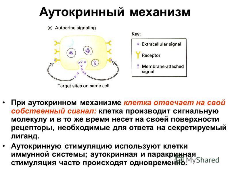 Аутокринный механизм При аутокринном механизме клетка отвечает на свой собственный сигнал: клетка производит сигнальную молекулу и в то же время несет на своей поверхности рецепторы, необходимые для ответа на секретируемый лиганд. Аутокринную стимуля
