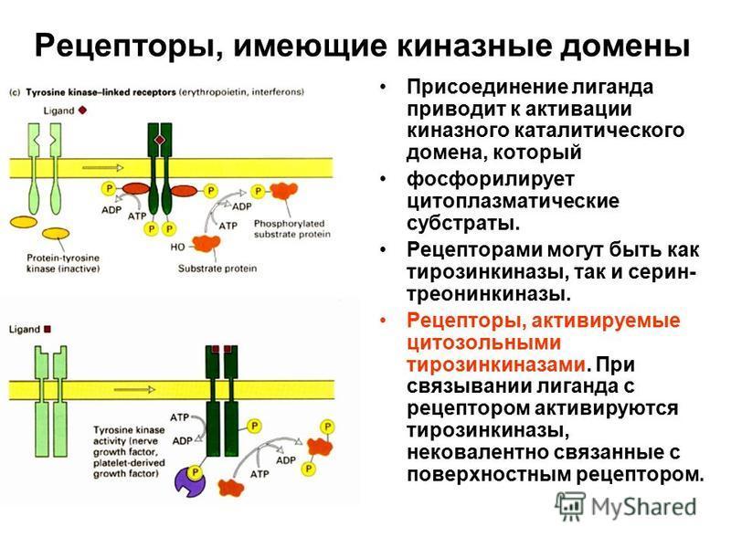 Рецепторы, имеющие киназные домены Присоединение лиганда приводит к активации киназного каталитического домена, который фосфорилирует цитоплазматические субстраты. Рецепторами могут быть как тирозинкиназы, так и серин- треонинкиназы. Рецепторы, актив