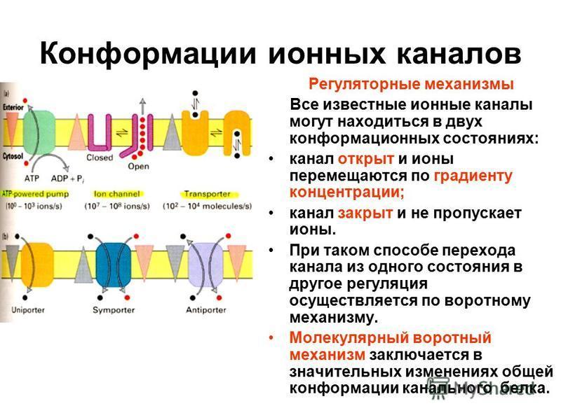 Конформации ионных каналов Регуляторные механизмы Все известные ионные каналы могут находиться в двух конформационных состояниях: канал открыт и ионы перемещаются по градиенту концентрации; канал закрыт и не пропускает ионы. При таком способе переход