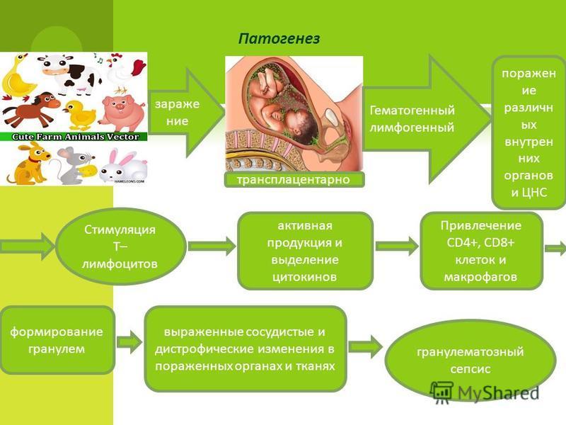 Патогенез заражение трансплацентарноее Гематогенный лимфогенный поражен ие различных внутренних органов и ЦНС Стимуляция Т– лимфоцитов активная продукция и выделение цитокинов Привлечение СD4+, СD8+ клеток и макрофагов формирование гранулем выраженны